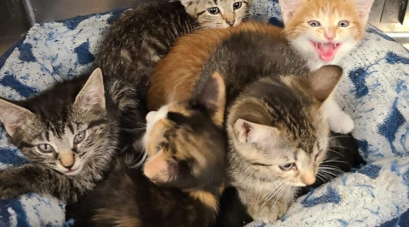 friendly-felines-from-antietam-humane-society-are-looking-for-their-forever-homes-–-waynesboro-record-herald